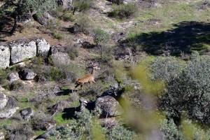 ciervo navalasnoviejo montería sierra caza nv (5)