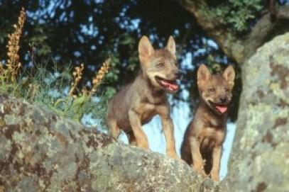 LOBEZNOS de 3 meses, sobre roca copy Carlos Sanz WWF lobos