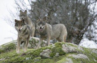 Tener mayoría no es sinónimo de tener razón: lobo, especie cinegética