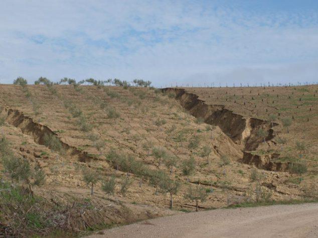 Olivares afectados por la erosión en Córdoba. Foto: J. A. Gómez Calero,