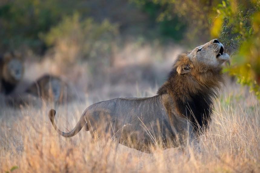 5 leones copy licinia machado