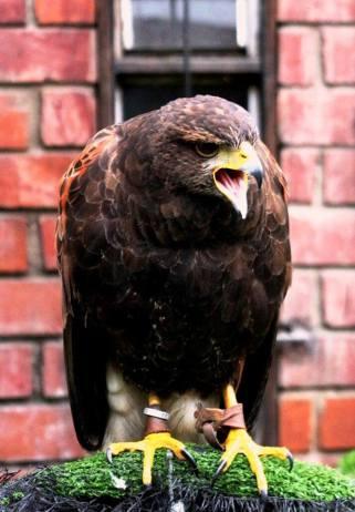 1 cetreria aves de Peru y Chile