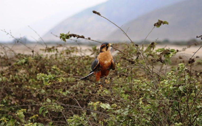 4 cetreria aves de Peru y Chile