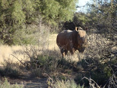 western cape áfrica rinoceronte blanco