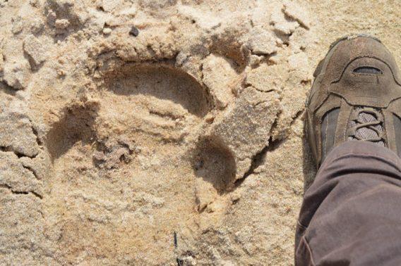 Huella de rinoceronte negro.