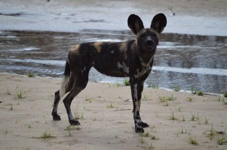 licaon o perro salvaje tanzania