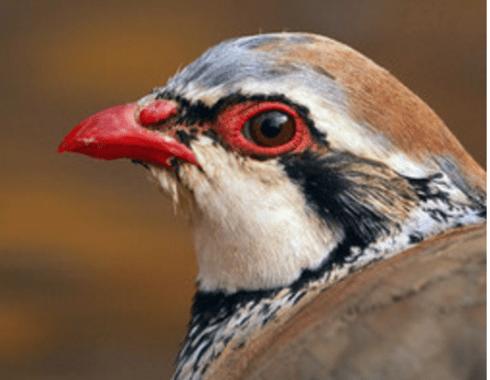 En la imagen se pueden apreciar las tonalidades rojas que ha alcanzado este macho de perdiz roja, Alectoris rufa / Rafael Palomo.
