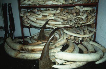 African elephant Loxodonta africana Confiscated elephant ivory and rhino horn