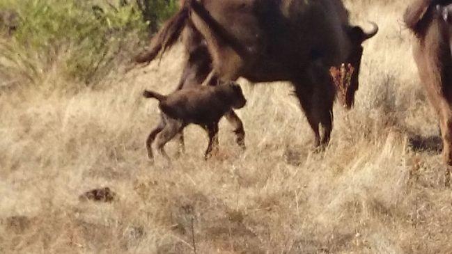 5-bisonte-monfrague