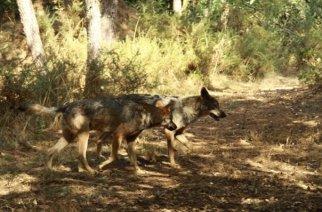 Asturias: IU pide aumentar el cupo de lobos en zonas con más daños