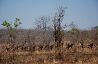 Cazando en Matetsi (Zimbabue), ¡el sable al fin!