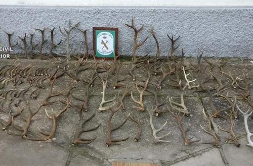 Intervienen en Sevilla 106 cuernas de ciervo sin documentación