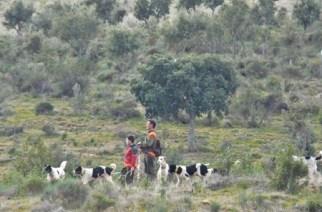 La RFEC ampara las cirugías preventivas en perros de caza
