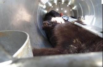 El veneno, posible causa de la muerte de los osos de Combo