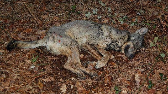 La necropsia al lobo de Barro revela que murió por sarna y no por perdigonazos
