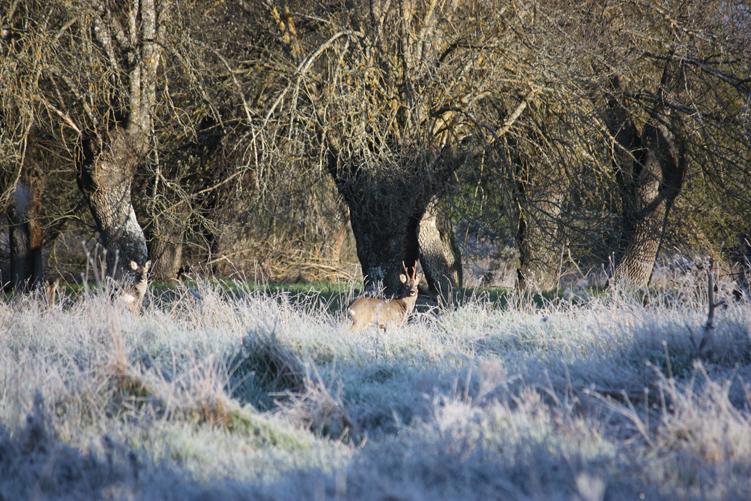 caza del corzo