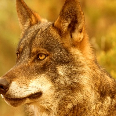 la caza del lobo