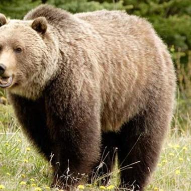 los osos grizzly