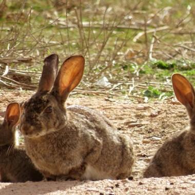 control de conejo de monte