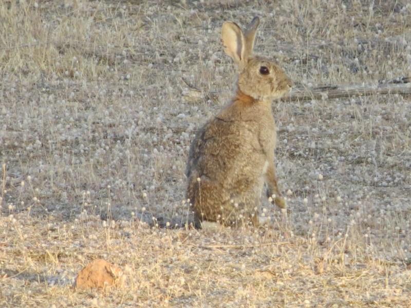 acudir a cazar conejos