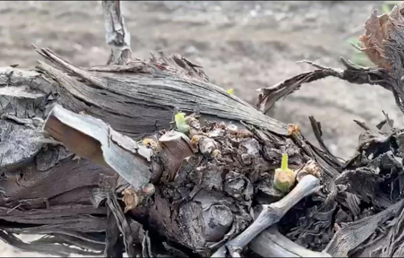 Agricultores andaluces daños conejos viña