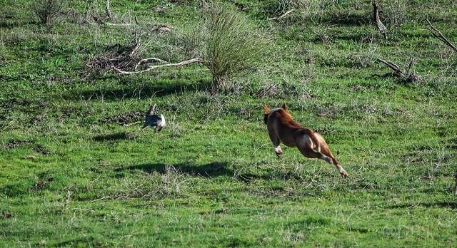 la caza del conejo con perro y sin armas