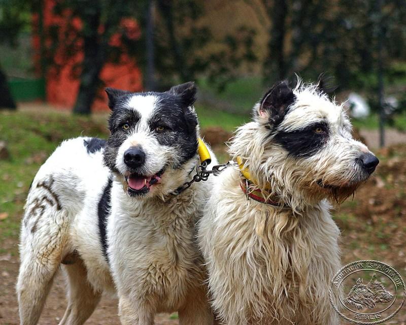 perros de caza AER