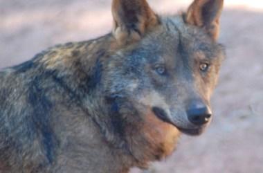 Casado lobos