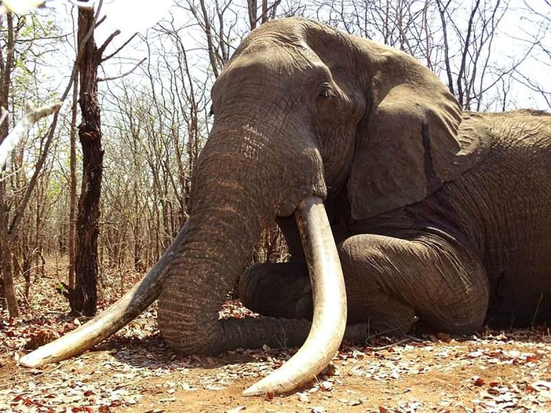 Primero de Mayo. Elefante