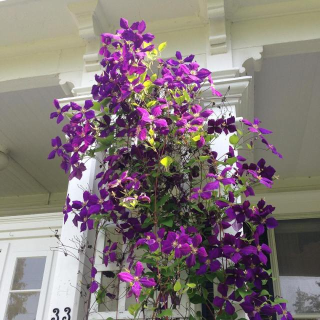 The clematis on the front of the Manse is beautifulhellip