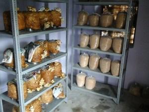 Mushroom unit at KVK, Pali