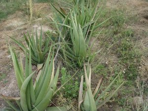 Aloevera unit at KVK, Pali