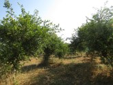 Lime orchard at KVK, Pali
