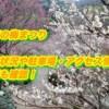 成田の梅まつり2019/開花状況や駐車場・アクセス情報!混雑も確認!