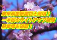 岐阜淡墨桜2020開花と見頃!一本桜のライトアップ時間・駐車場を確認!