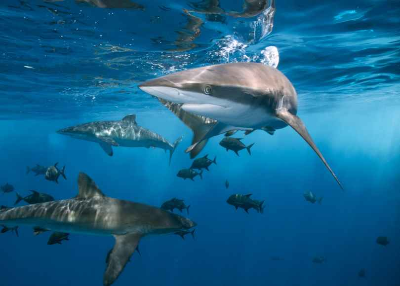 dangerous sharks swimming in clean water of ocean