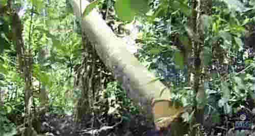 2015_0430_treecutting267