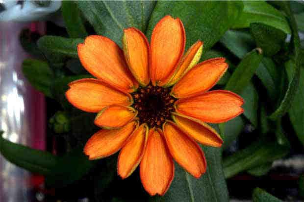 2016_0117_ISS-orange-zinnia2