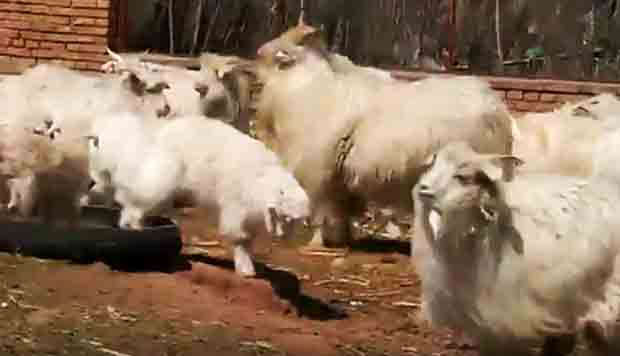 Inner Mongolia claim success in cloning goat for superfine cashmere wool production
