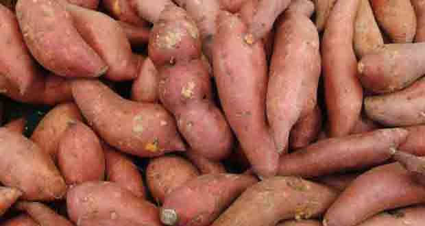 Root crop: Sweet potato or Kamote, a farm product which is staple food and sour of income of many rural and farm based families.