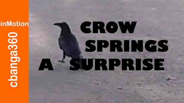 Watch A Crow Springs A Surprise