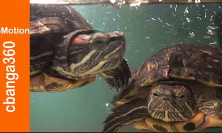 Cooper (l) and Pepper (r), red-eared slider turtles and friendly housemates.