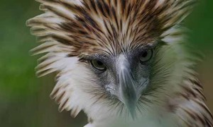 One of the rarest and largest birds of prey, the majestic Philippine Eagle is critically endangered.
