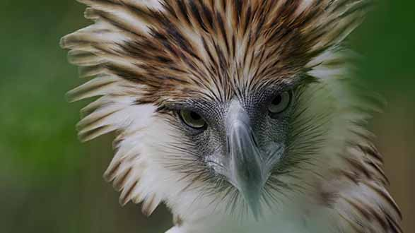 THROWBACK: Official Trailer BIRD OF PREY Philippine Eagle
