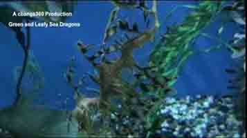 The Amazing Green and leafy Sea Dragon