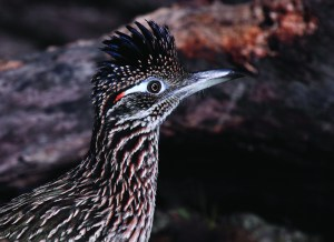 Greater Roadrunner by Linda Alley