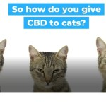 HOW DO YOU GIVE CBD TO CATS?