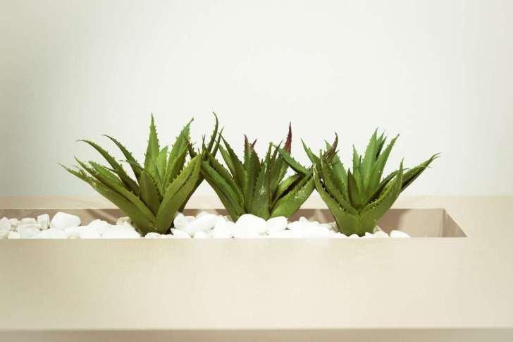 CBD Dog Health Aloe Plant Truth About Aloe for Dogs