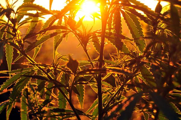 Cannabis Pflamnzen