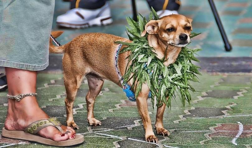 Pot for pets: Could medical marijuana help your dog?
